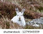 Stock photo white mountain hare lepus timidus these hares are native to the british isles this one was in 1279545559