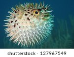 Blowfish Or Diodon Holocanthus...