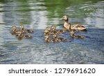 wild duck  anas plathyrhynchos  ... | Shutterstock . vector #1279691620