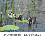 wild duck  anas plathyrhynchos  ... | Shutterstock . vector #1279691623