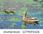 wild duck  anas plathyrhynchos  ... | Shutterstock . vector #1279691626