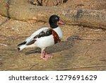 wild duck tadorna walking on... | Shutterstock . vector #1279691629