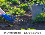 planting strawberries in the... | Shutterstock . vector #1279731496