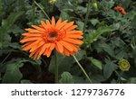 beautiful single blooming... | Shutterstock . vector #1279736776
