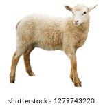 Sheep Isolated On White...