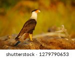 southern caracara  sitting on... | Shutterstock . vector #1279790653