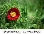 wild peony is thin leaved ...   Shutterstock . vector #1279805920