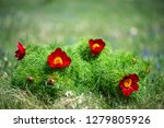 wild peony is thin leaved ...   Shutterstock . vector #1279805926
