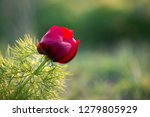 wild peony is thin leaved ...   Shutterstock . vector #1279805929