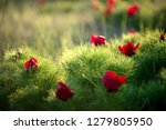 wild peony is thin leaved ...   Shutterstock . vector #1279805950
