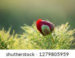 wild peony is thin leaved ...   Shutterstock . vector #1279805959