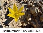 sternbergia clusiana blossom  ... | Shutterstock . vector #1279868260