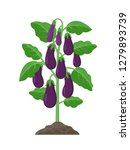 eggplant plant with ripe purple ... | Shutterstock .eps vector #1279893739