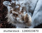 portrait of a brown and white... | Shutterstock . vector #1280023870