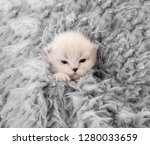 Stock photo little newborn white kitten covered in gray blanket 1280033659