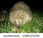 hedgehog snout picture | Shutterstock . vector #1280122330