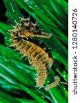 long snouted seahorse along... | Shutterstock . vector #1280140726