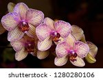 lavender and cream phalaenopsis ... | Shutterstock . vector #1280280106