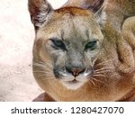 puma cougar cat in sacred... | Shutterstock . vector #1280427070