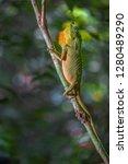 hump snout lizard or lyre head...   Shutterstock . vector #1280489290