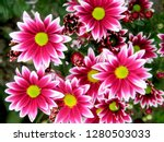 Pink Purple White Chrysanthemu...
