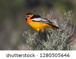 Bullock's oriole outside