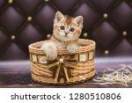 Stock photo kitten cat scottish straight loose fluffy animal munchkin 1280510806