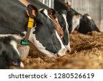 milk cows at the farm   Shutterstock . vector #1280526619