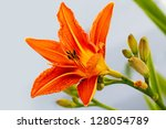 Day Lily Orange Flower