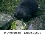 Western long-beaked echidna or Zaglossus bruijni from New Guinea