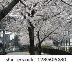 japanese spring poetry  cherry... | Shutterstock . vector #1280609380