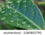 dew drops on a tree leaves   Shutterstock . vector #1280802790