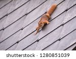Red Squirrel On A Roof