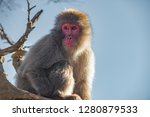 japanese macaque ape. some... | Shutterstock . vector #1280879533