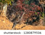 japanese macaque ape. some... | Shutterstock . vector #1280879536