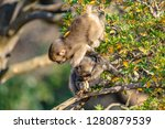 japanese macaque ape. some... | Shutterstock . vector #1280879539