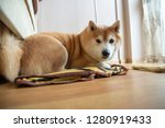 shiba in dog with bone on the... | Shutterstock . vector #1280919433
