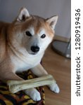 shiba in dog with bone on the... | Shutterstock . vector #1280919436
