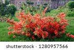 Quince Flower In Tashkent
