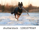 bohemian shepherd  six months... | Shutterstock . vector #1281079069