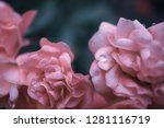 sweet pink roses in vintage... | Shutterstock . vector #1281116719