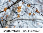 dry birch leaves on a tree in... | Shutterstock . vector #1281136060