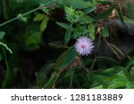 the sweet pink color flower of... | Shutterstock . vector #1281183889