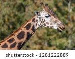 portrait of a giraffe against a ... | Shutterstock . vector #1281222889