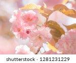 cherry tree in bloom. sakura... | Shutterstock . vector #1281231229