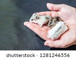 Stock photo little tiny kids hamsters sitting on the palm of a man hands holding with tenderness a cute little 1281246556
