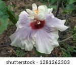 Hibiscus Hybrid Flower ...