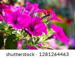 Petunia Petunia In The Garden...