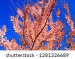 branch of pink purple tamarix...   Shutterstock . vector #1281326689