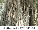 old tree roots in maldives  ari ... | Shutterstock . vector #1281336163